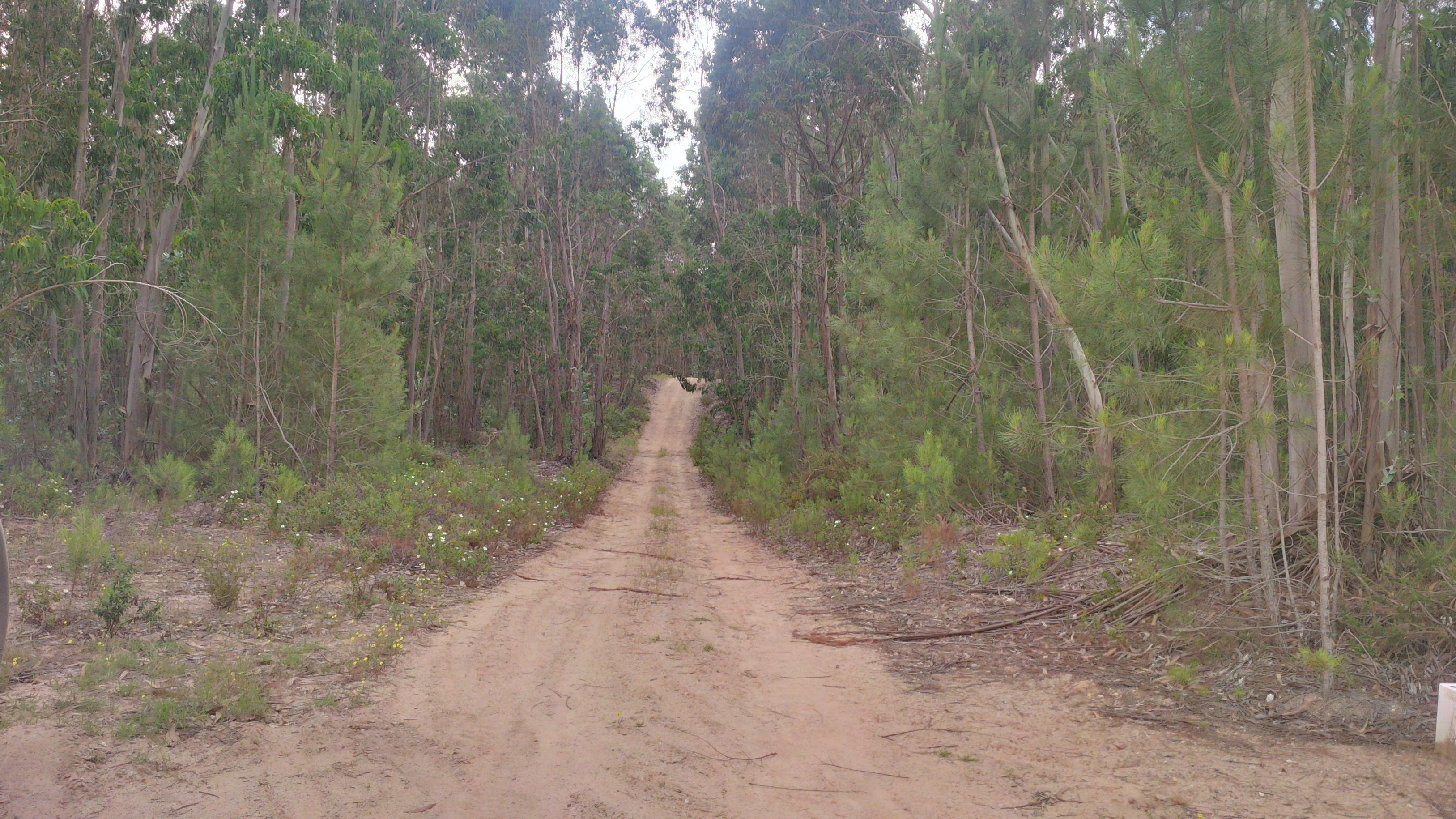 Portugal -eucalyptus forest for sale.   Ref P01