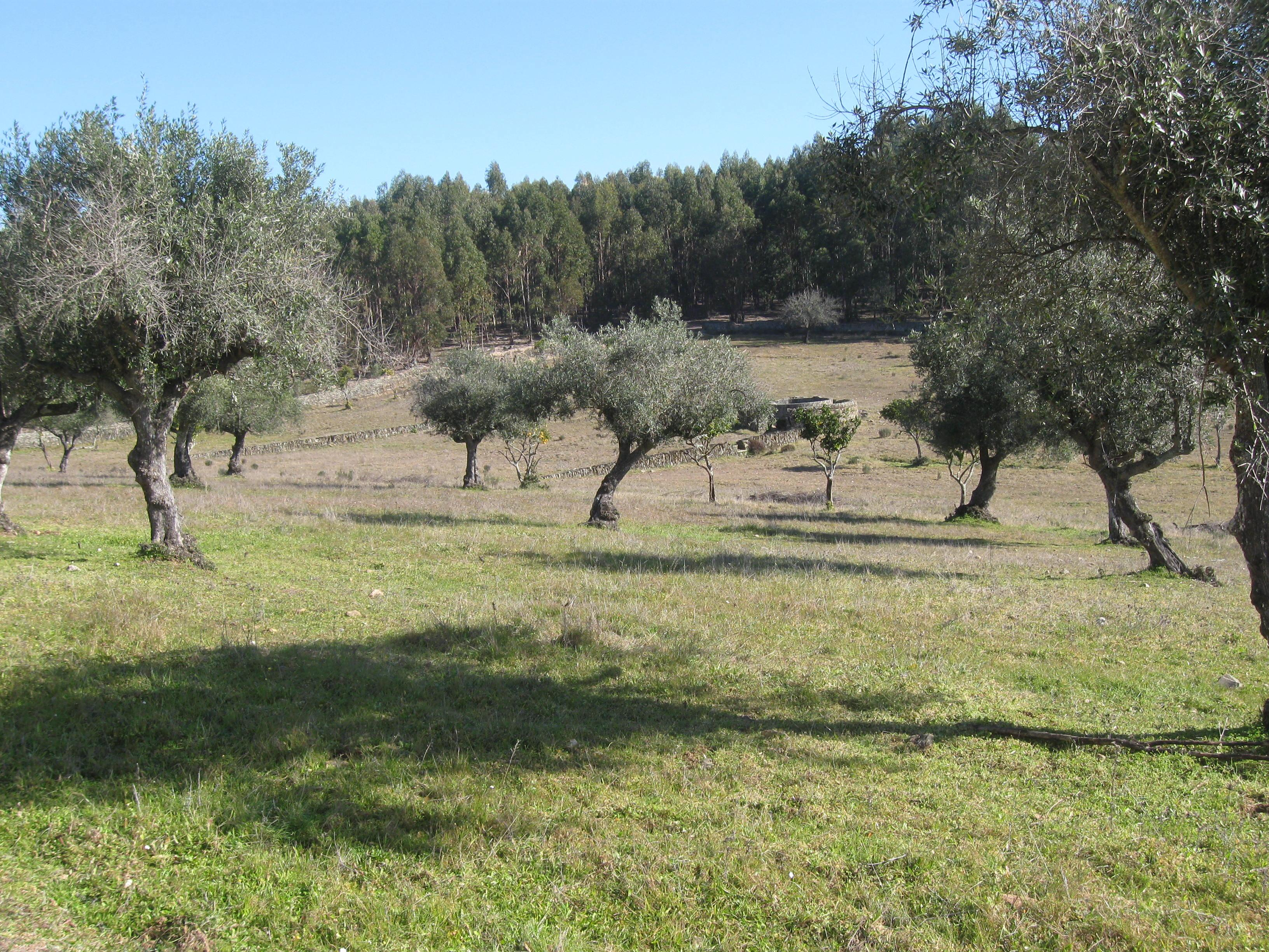 Portugal - EUCALYPTUS farm for sale. Ref P06