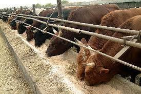 Russia - livestock farms available